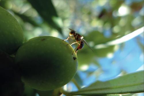 Plagas de olivo