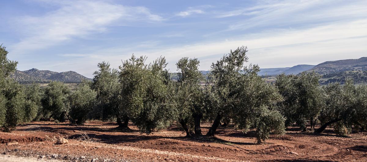 Nutrició del olivo
