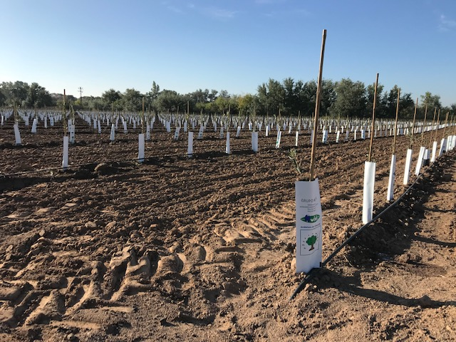 instalacion-de-riego-en-plantacion-superintensiva-de-olivos